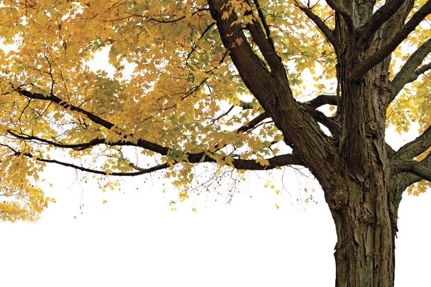 Autumn maple tree wall mural photo wallpaper photowall for Autumn tree mural