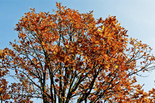Canvas print - Autumn Tree and Blue Sky