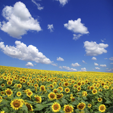 Canvastavla - Sunflower Field