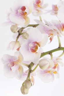 Canvas print - Orchidee