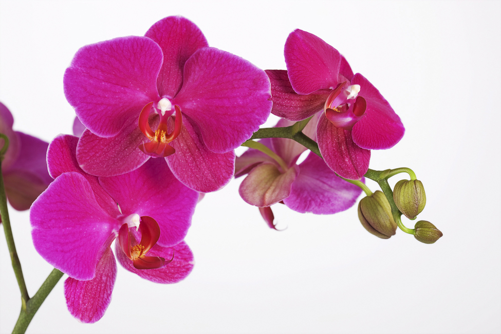 Orchidee - White Background - Wall Mural & Photo Wallpaper - Photowall