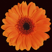 Fototapet - Orange Gerbera - Black