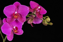 Canvastavla - Orchidee -Black