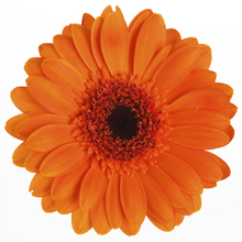 Fototapet - Orange Gerbera - White