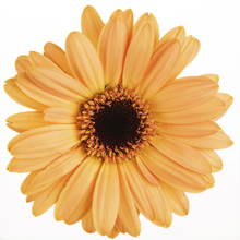 Canvastavla - Yellow Gerbera