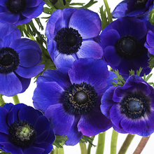 Canvastavla - Blue Anemones