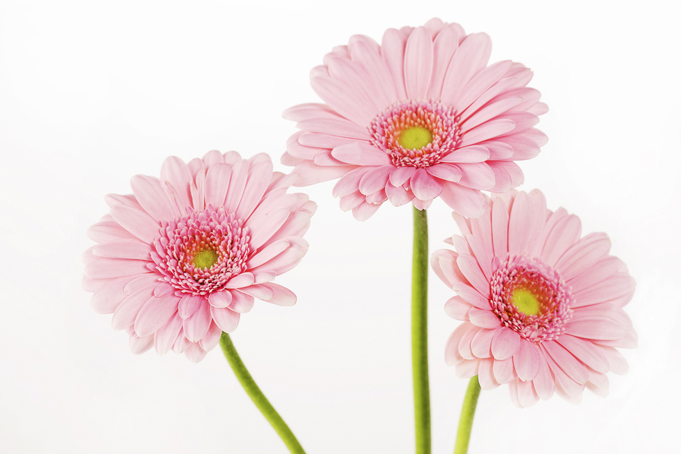 Three Pink Gerbera