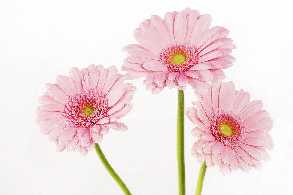 three pink gerbera wall mural photo wallpaper photowall. Black Bedroom Furniture Sets. Home Design Ideas