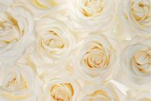 Wall mural - Nice Roses 3