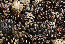 Canvastavla - Fir Cones