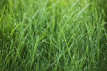 Canvastavla - Green Grass with Dew