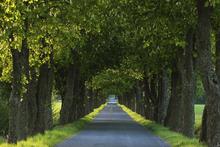 Fototapet - Tree Avenue
