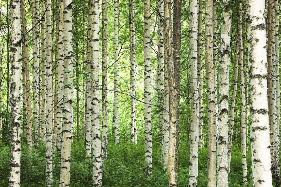 Clear birch forest wall mural photo wallpaper photowall for Birch wall mural