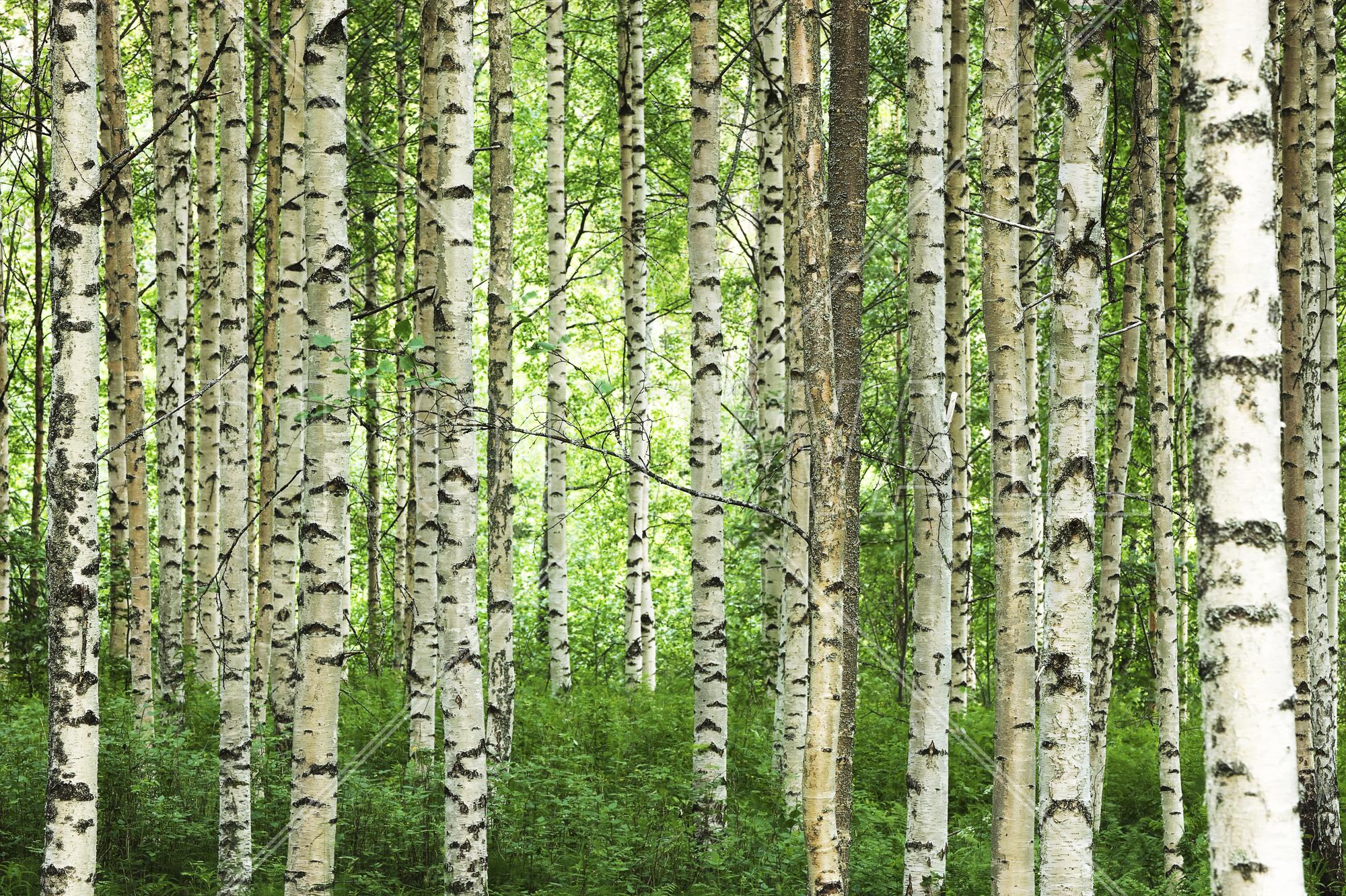 Clear Birch Forest Part 87