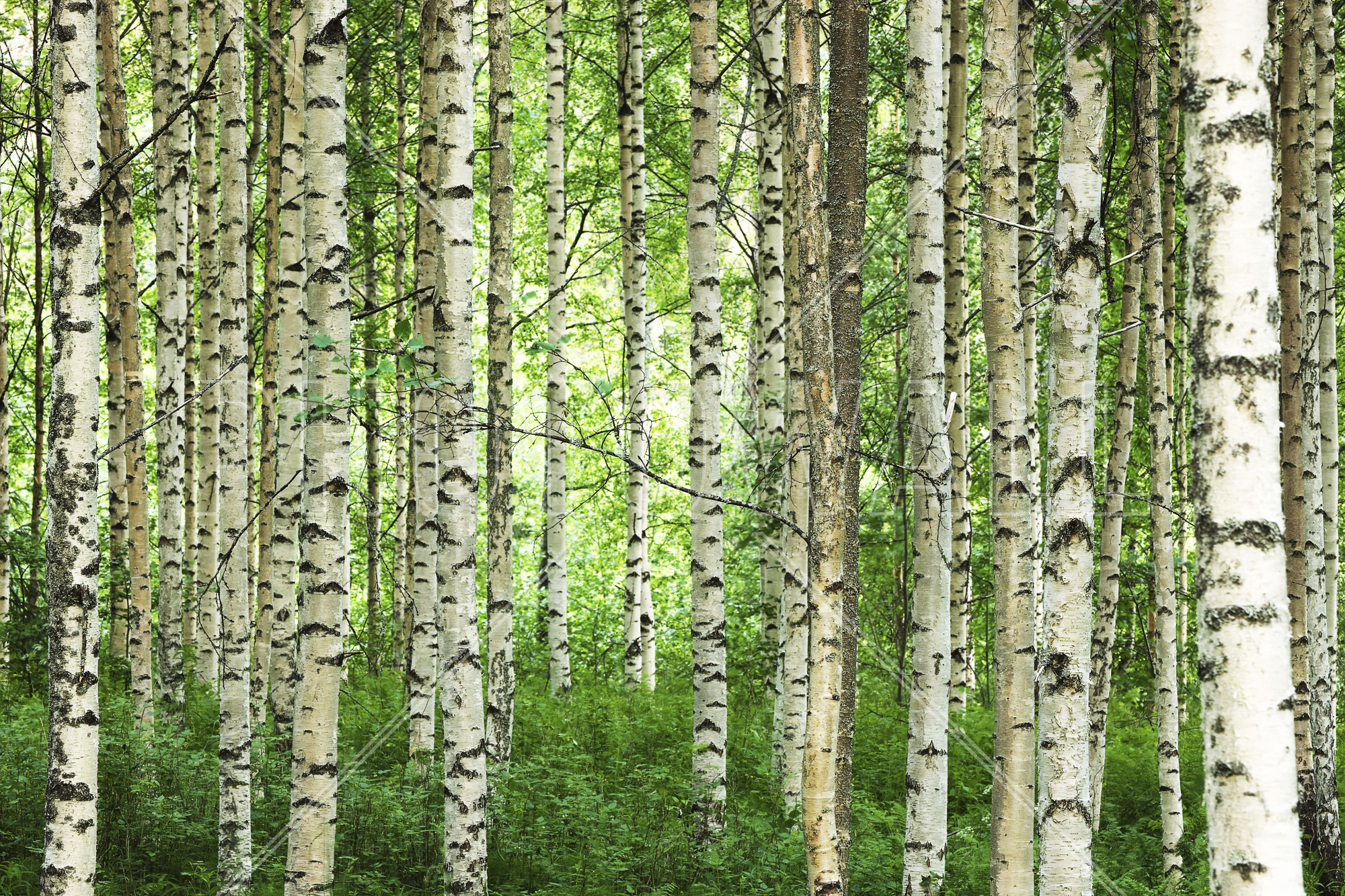 Wall Mural   Clear Birch Forest Part 86
