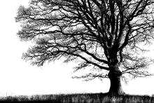 Fototapet - Alone Tree - b/w