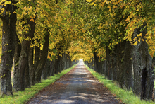 Canvas print - Autumn Avenue