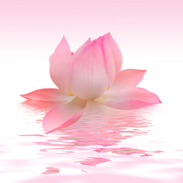 Pink Lotus Canvas Print Amp Canvas Art Photowall