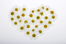 Wall mural - Heart of Daisies