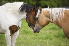 Wall mural - Cuddling Horses