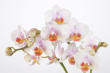 Canvas print - Soft Orchidee