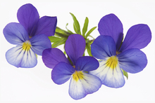 Fototapet - Purple Pansies
