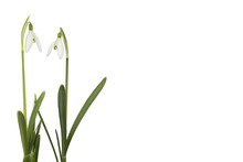 Wall mural - Snow Drop