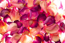 Fototapet - Bed of Rose Petals