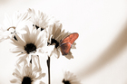 Canvas print - Julia Butterfly - Red