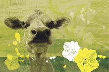Wall mural - Homeless Cow