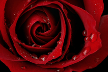 Lerretsbilde - Dark Red Rose