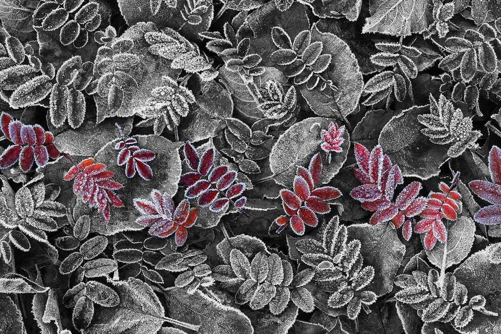 Frosty Leaves Red
