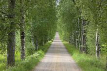 Fototapet - Birch Alle in Summer