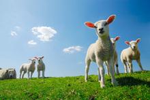 Wall mural - Lamb