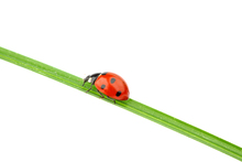 Wall mural - Ladybug on a Straw