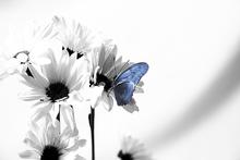 Wall mural - Julia Butterfly - b/w Blue