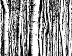 aspen forest fototapeten tapeten photowall. Black Bedroom Furniture Sets. Home Design Ideas