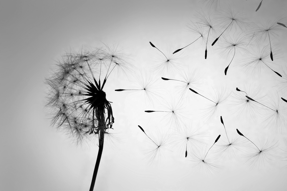 Blowing dandelion black and white - photo#10