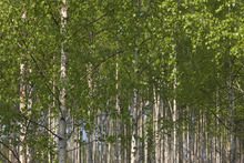 Canvas print - Birches