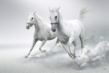 Canvas print - White Horses
