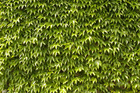 Wall mural - Green Wall of Ivy Leaves