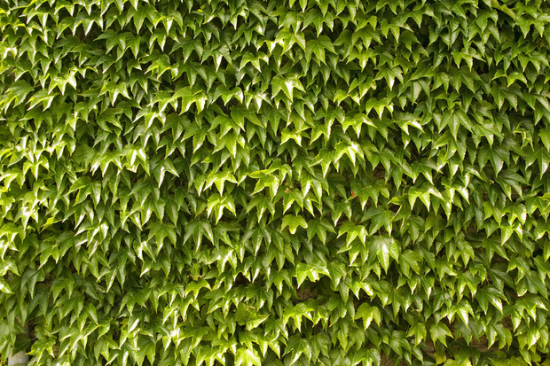 Green wall of ivy leaves wall mural photo wallpaper for Green wallpaper for walls