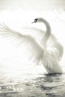 Canvas print - Graceful Swan