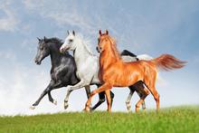 Wall mural - Arab Horses Runs Free