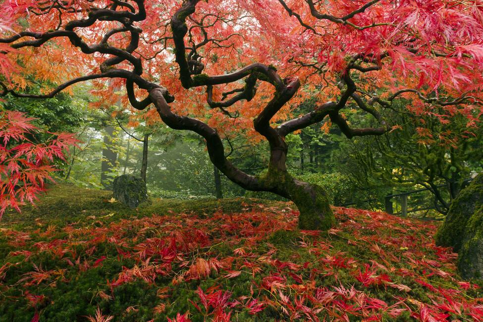 Foto Giardino Zen Giappone : Japanese maple tree wall mural photo wallpaper photowall