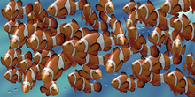 Canvastavla - Clown Fish
