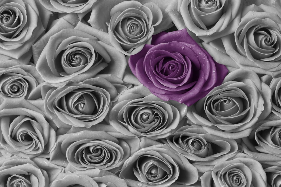 Roses - Purple and Grey