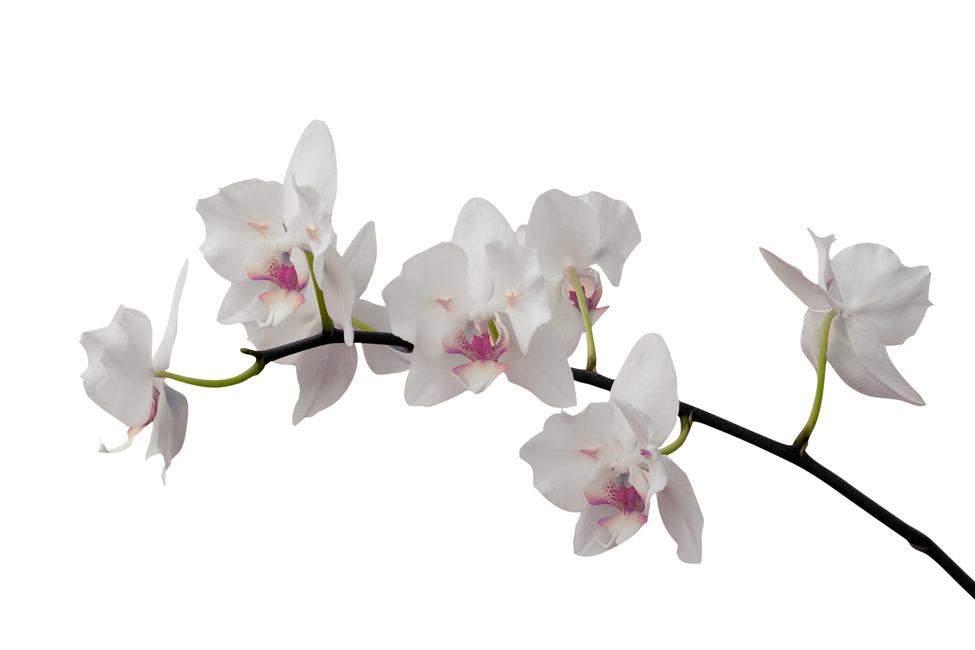 White Orchid Stem - Purple