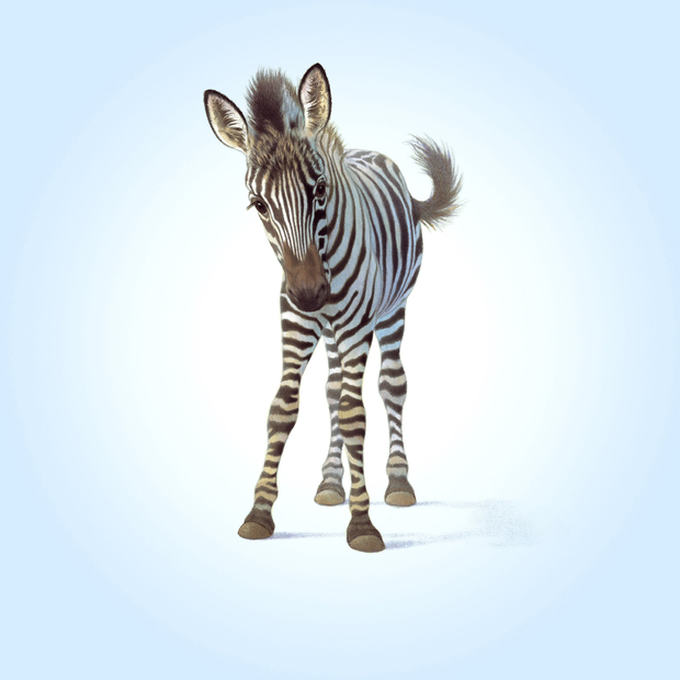 Zebra foal fotobehang behang photowall - Behang zebra ...