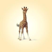 Wall mural - Giraffe Calf